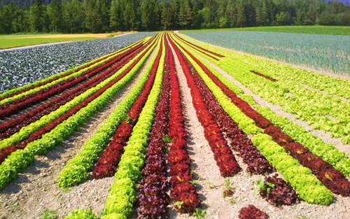Lettuce fields in Absam, Austria