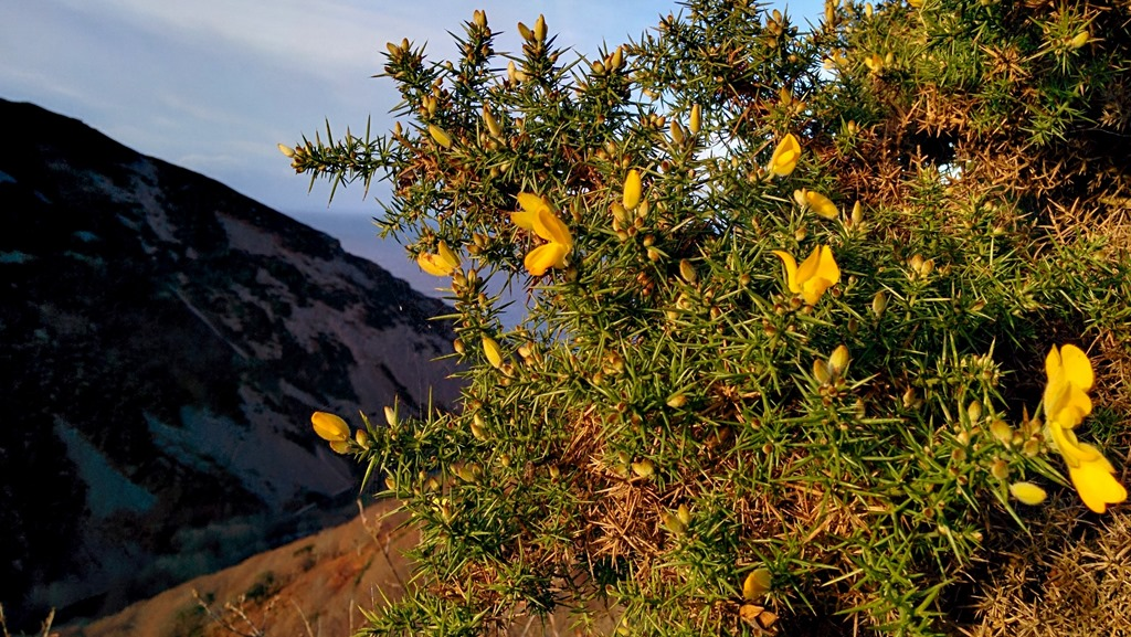 A gorse bush sitting high above Heddons Mouth in the middle of Exmoor