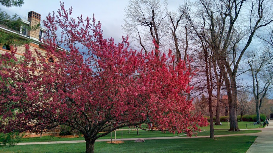 Cherry Blossom on the CU campus