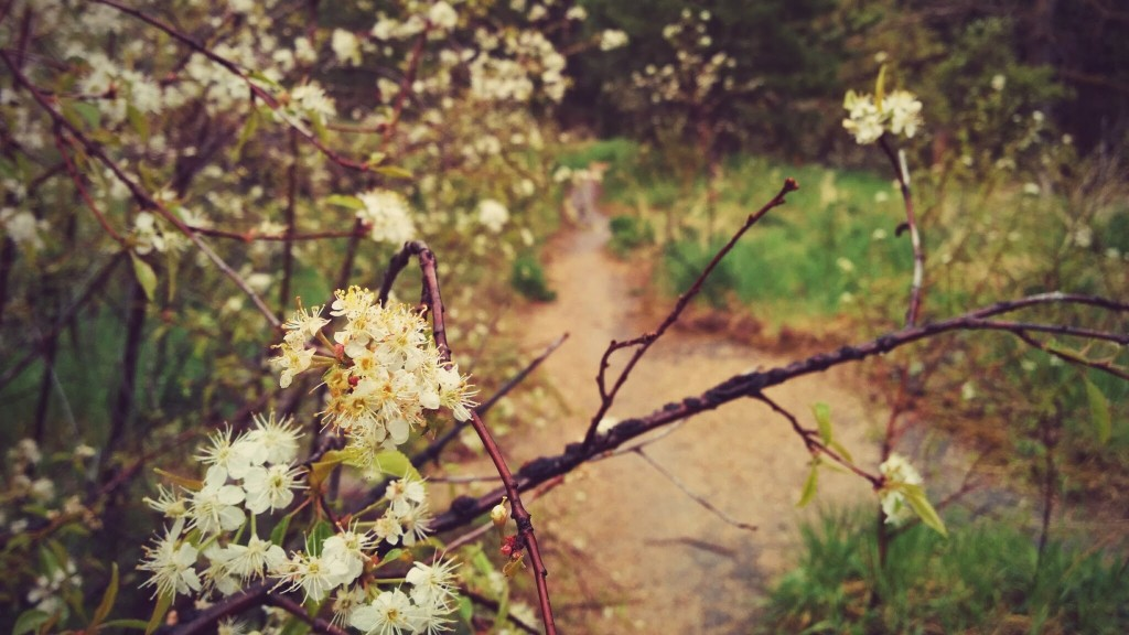 Apple blossom / singletrack